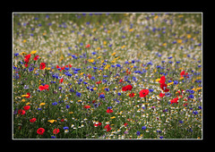 Wildflowers..17 June 2007 (strussler) Tags: blue red england white yellow daisies canon eos roundabout sigma surrey poppy poppies daisy 5d cornflower excellence cornflowers naturesfinest clandon a246 trafficisland superbmasterpiece