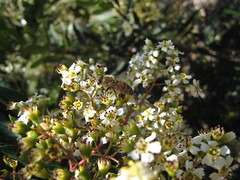 Bee on elderberry flowers