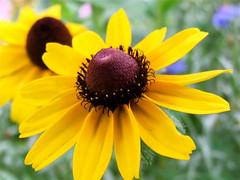 Flowers In The Backyard (mightyquinninwky) Tags: flowers brown black beauty yellow garden backyard dof bokeh kentucky blackeyedsusans westernkentucky blueribbonwinner unioncountykentucky morganfieldkentucky bestofformyspacestation