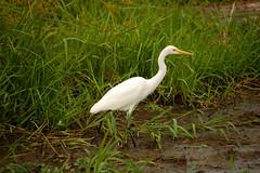 Great Egret (Sun Spiral) Tags: travel bird june yellow australia nikond50 wetlands waters kakadu greategret ardeaalba