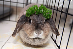 parsley princess andora (jade_c) Tags: pet rabbit bunny animal mammal singapore parsley opal  hollandlop andora  lagomorph impressedbeauty opalhollandlop