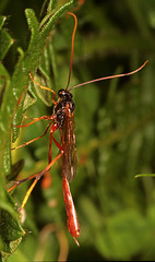 "Ichneumons Wasp(5) • <a style=""font-size:0.8em;"" href=""http://www.flickr.com/photos/57024565@N00/1048584519/"" target=""_blank"">View on Flickr</a>"