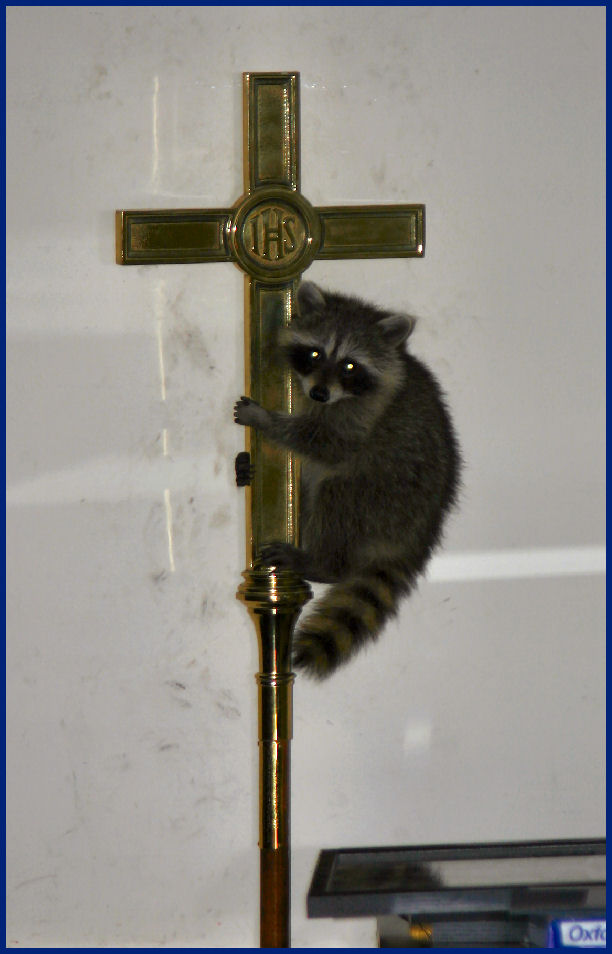 Racoons in the chapel