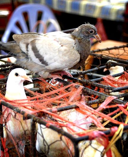 Yangshuo Pigeons