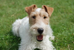 Gatsby, the wire fox terrier, looking cu by Alicia Nijdam, on Flickr