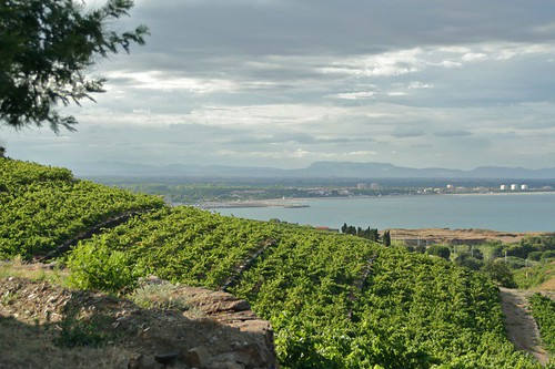 Banlyus vineyards on the hills of Collioure.jpg