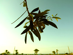olive tree - by ~Coquí