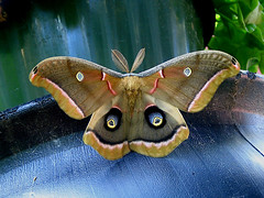 Polyphemus Moth (squatchman) Tags: pink blue red macro nature yellow wisconsin outdoors oneofakind butterflies insects bugs urbannature moths silkmoth flyinginsects milwaukeewisconsin wonderworld thenatureconservancy polyphemusmoth insectsandspiders insectsspiders wunderground anythingnature allthingsbeautifulinnature 10millionphotos insectphotography itsabeautifullife worldbest beautifulbutterflies butterflybeauty diamondclassphotographer flickrdiamond amateurmacros macrophotosnolimits flickrinsects butterflygallery buzznbugz betterthangood butterfliesofwisconsin