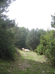 Cow in the way (dbz885) Tags: holiday france spain happiness september dmc loveliness gjm dgthroughthepyrenees