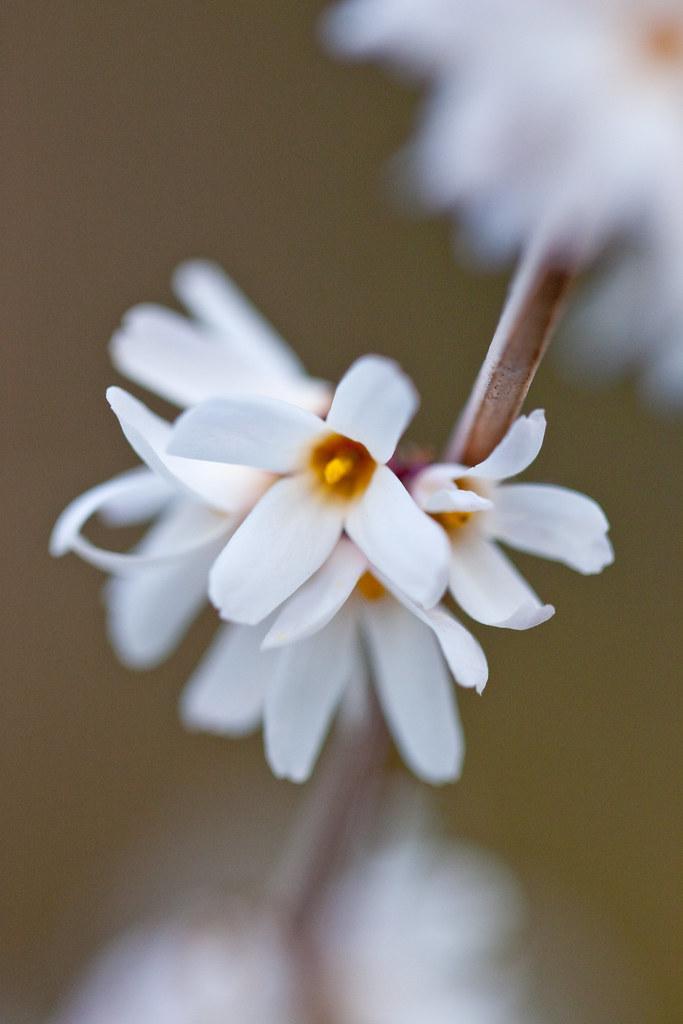 Photo: Abeliophyllum distichum