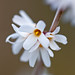 Photo: Abeliophyllum distichum