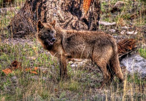 Wolf In Yellowstone by C.R. Courson