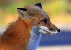 renard roux IMG_4002 copie (salmo52 (En mode pause)) Tags: fox redfox vulpesvulpes renard renardroux salmo52 alaincharette