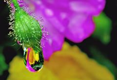 poppydrop - by Steve took it