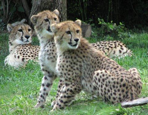 Cheetah Trio, St Louis Zoo, 8Jun07