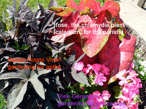 Rose, the chlamydia plant