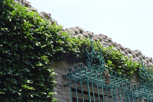 Fig vines on the courtyard walls.