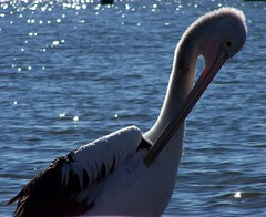 Preening 2 (pominoz) Tags: bird pelican nsw lakemacquarie