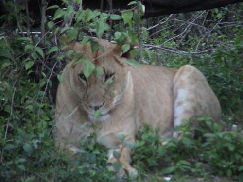 Mara Lioness in Bushes
