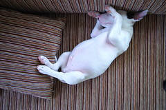 do not disturb (kunoan) Tags: english digital bull terrier muji gr hua hin magical ricoh