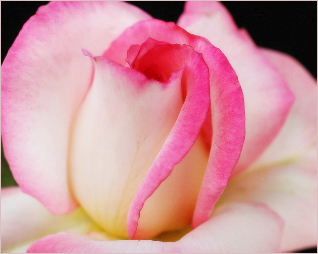 Pink on Cream Rose