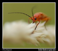 Soldier Beetle on grass seed.jpg (Tony Margiocchi (Snapperz)) Tags: wild macro nature nikon wildlife soldierbeetle minibeast nikond200 rhagonychafulva margiocchi