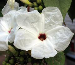 Tissue Flowers, Canon PSA95
