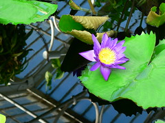 Water lilly - by ramson