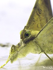 ERE Oxyodes scrobiculata (hkmoths) Tags: macro wow hongkong lepidoptera animalplanet taitam erebidae erebinae mothmania macrophotosnolimits oxyodes hongkongmoths oxyodesscrobiculata hongkongcountrypark香港郊野公園 nationalmothweek