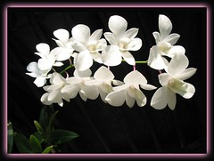 Dendrobium 'White Pagoda', a bountiful stalk of 12 flowers!