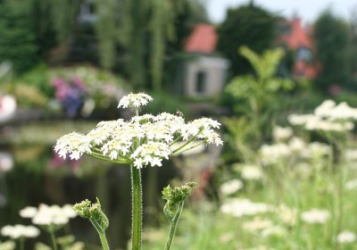 """Seam carving of """"Hogweed IV"""" (small)"""