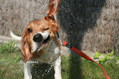 Taking a Bath. (¡arturii!) Tags: barcelona summer portrait favorite orange dog baby game hot cute home beagle water colors animal yellow fauna wow garden landscape geotagged fun lights casa drops amazing interesting movement bath funny europe play view action awesome great adorable funday catalonia september fave perro explore stunning tricolor shake hunter catalunya moment macho maresme find aigua gos cataluña barcelone select groc estiu taronja timing mostviewed setembre bany catalogne 200000 caçador anawesomeshot bigui onlythebestare espulsada mostviwed freefunnypics famousedog livemayspringsummerphotophotographyphotosnatureshowurbanzoo