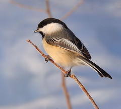 Black-capped Chickadee (JRIDLEY1) Tags: winter snow bird searchthebest kensington soe blackcappedchickadee cubism naturesfinest 80400vr zenfolio platinumphoto anawesomeshot brightonmichigan nikond3 jridley1 jimridley dailynaturetnc09 httpjimridleyzenfoliocom photocontesttnc10 lifetnc10 jimridleyphotography photocontesttnc11 photocontesttnc12