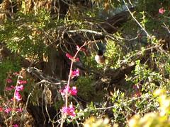 BLACK-CHINNED HUMMNGBIRD (Aquila-chrysaetos) Tags: red plants flower birds rock utah flora colorado hummingbird desert aves bloom northamerica redrock mojavedesert blossum coloradoplateau canyoncountry trochilidae plantaginaceae washingtoncounty