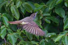 Intruder (~ Michaela Sagatova ~) Tags: bird nature dundas bif flycatcher greatcrestedflycatcher myiarchuscrinitus feedingyoung dvca michaelasagatova