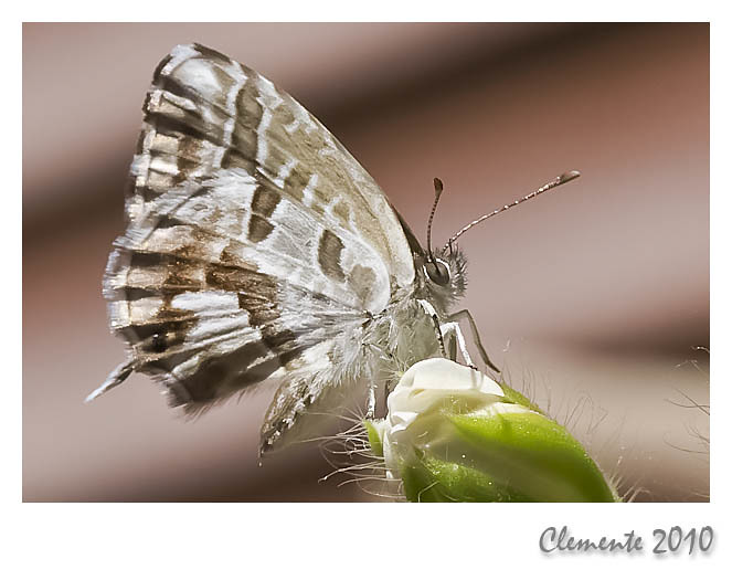 Mariposa del Geranio 4730430233_538b720038_b