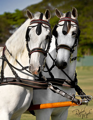 Brothers Angels... (Raphael Macek - Horse Photography) Tags: galope