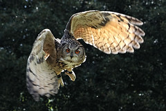 Eagle Owl (Leo Reynolds) Tags: bird animal fauna canon eos iso800 eagle 7d owl f80 120mm eagleowl hpexif 0001sec leol30random threadtwtme threadtwtme6fri xleol30x