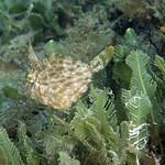 IMG_5454acrre Planehead Filefish (Stephanolepis hispidus) thumbnail