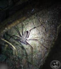 Giant Scorpion Spider (meandfrenchie) Tags: night spider ecuador amazon rainforest jungle cuyabeno cuyabenoreserve scorpionspider theoriente ecuadoreanamazon nickylodge