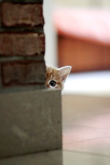 Je t'ai vu! (Calinore) Tags: cute eye wall cat kitten chat selection oeil tex hidden gato ear curious cache oreille mignon chaton curieux curiosite unamourdechat expositionbigbrother selectionneespargetty
