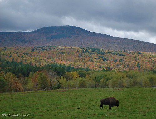 O' Give Me a Home Where the Buffalo Roam ... in Maine!