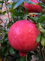 Pomegranates, 2010
