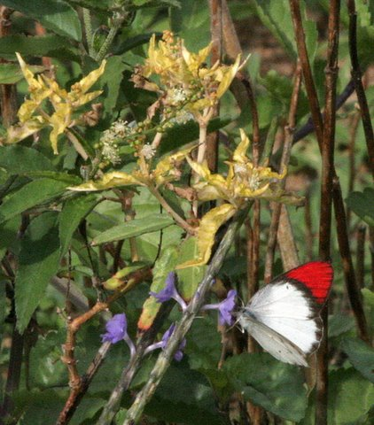 Un id red and white b'fly