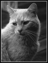 I'm too cute (Kirsten M Lentoft) Tags: portrait bw topc25 topv111 cat kitty supershot bestofcats impressedbeauty aplusphoto momse2600 diamondclassphotographer flickrdiamond kirstenmlentoft