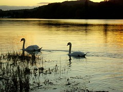 Swans at sunset on Coniston Water,Lake District, Cumbria, autumn (CraftyBev) Tags: autumn sunset lake district swans coniston lwater