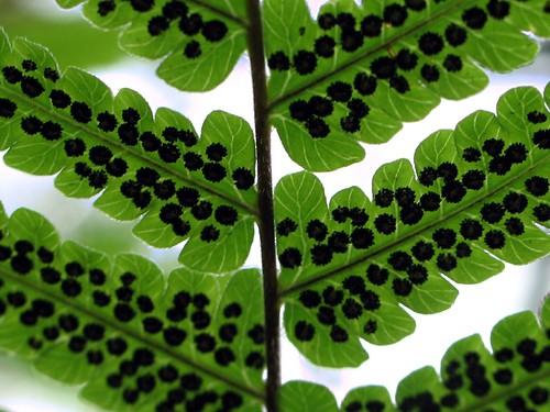 Underside of a fern