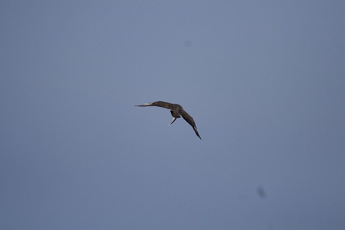 Skua leaving