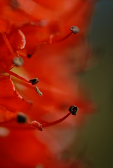 Stamen and pistule (javame) Tags: sanfrancisco red macro nature nikon dof surgery depthoffield archives d200 allrightsreserved brainsurgery aneurysm nikond200 nikonstunninggallery top20red brainaneurysmsurvivor brainaneurysmsurgery