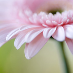 one more time (DocTony Photography) Tags: pink plant flower macro nature flora nikon bravo searchthebest blossom gerbera bloom excellence naturesfinest magicdonkey d80 doctony